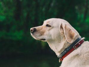 Labrador - Norfolk Broads